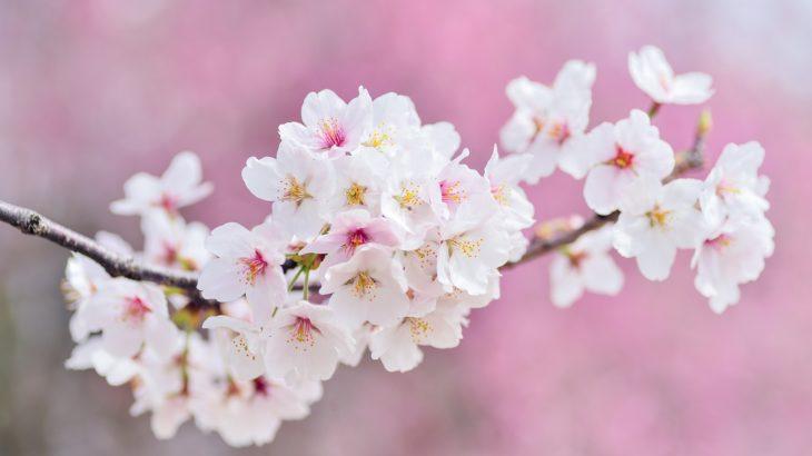 【2019】お花見で聴きたい桜ソング20選!春を感じる人気曲・定番曲